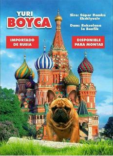 Semental Bulldog Francés