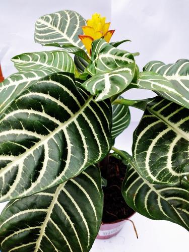 Planta Aphelandra Afelandra Floral Interior
