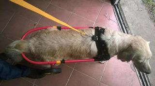 Carritos Ortopedicos O Sillas De Ruedas Para Perros Grandes