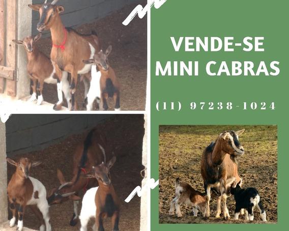 Mini Cabra Ou Mini Cabrito