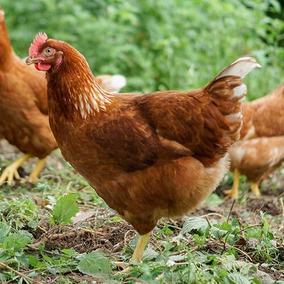 Ovos Galados Galinha Poedeira (12+3)