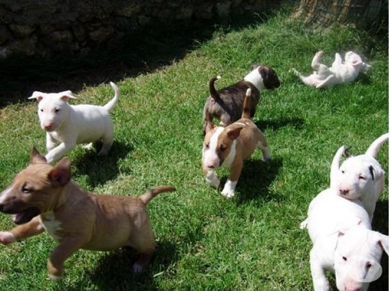 Bull Terrier Filhotes Perfeitos Disponível Os Mais Lindos
