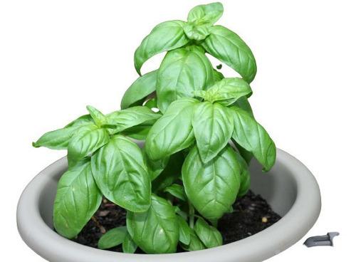 Imagem 1 de 5 de 30 Sementes De Manjericão Genoves - Genovese Basil Italiano