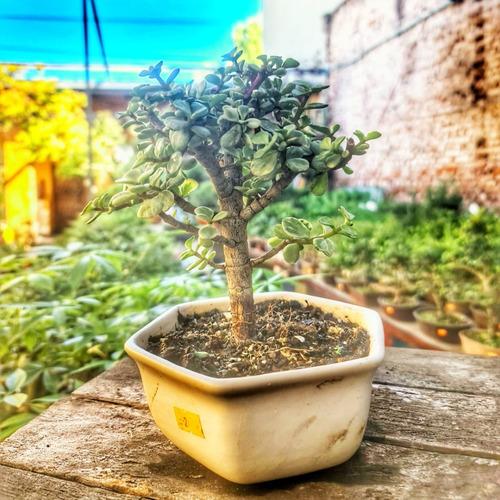 Bonsai Portulacaria Afra Variegada En Maceta Esmaltada