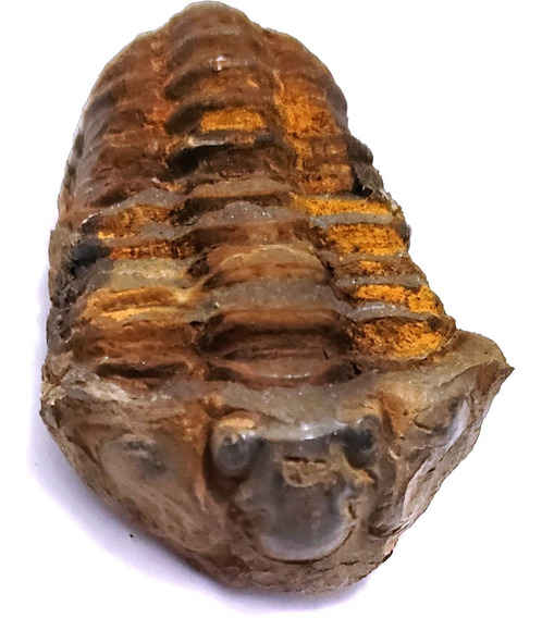 Trilobite Fosil Trilobita Real Unico Calidad Museo