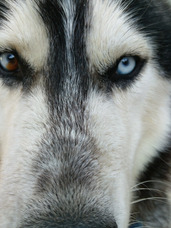 Husky Monta Eterocromia