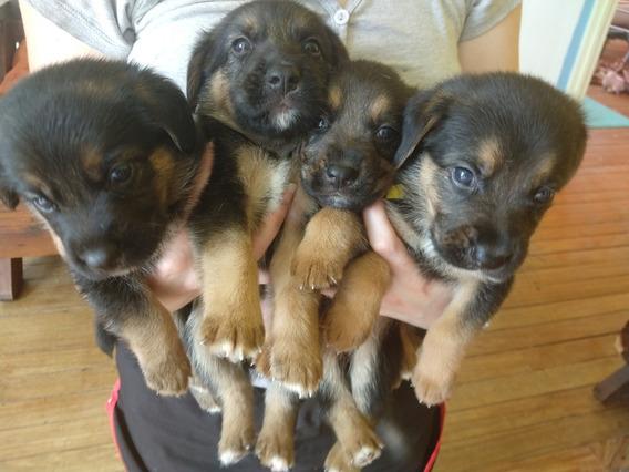 Cachorros Mezcla Pastón Alemán Y Beagle