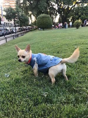 Chihuahua Macho Servicio
