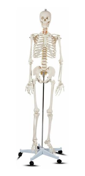 Esqueleto Anatomico Humano De Tamaño Realista Con Base