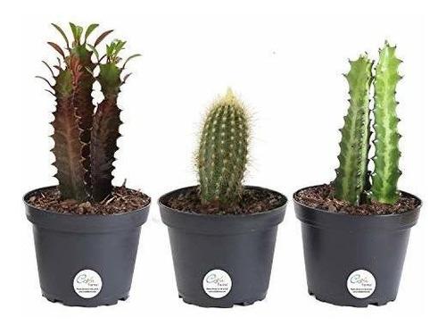Costa Farms Cactus Premium Euphorbia Plantas Vivas Se Envia