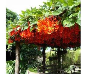 Mudas Da Trepadeira Jade Vermelha Só A Retirar Em Goiânia