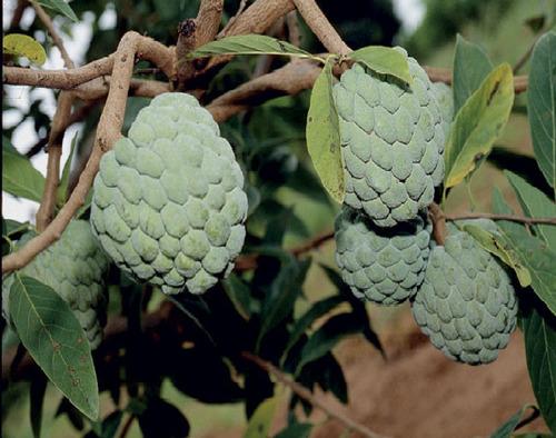20 Sementes De Ata/pinha/fruta Do Conde