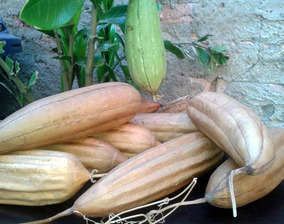 Sementes De Bucha Vegetal - 500 Sementes