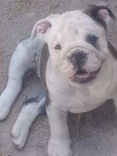 Hermosos Cachorros Bull Dog De 3 Meses Padres A La Vista
