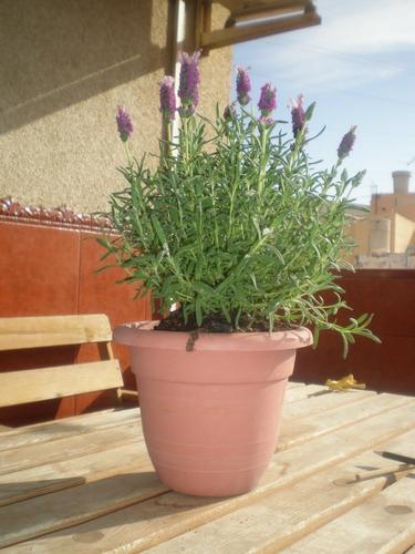 Imagen 1 de 2 de Semillas De Lavanda Planta Floral Y Aromatica Pack De 50
