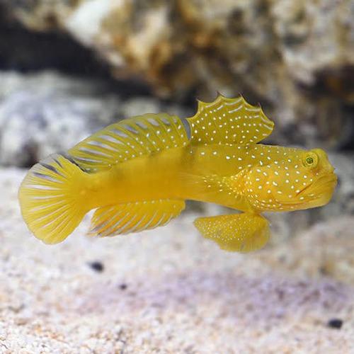 Pez Gobio Amarillo Yellow Watchman Goby Pez Marino Peces