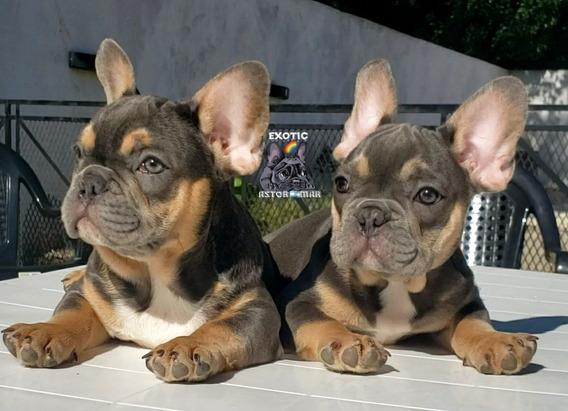 Bulldog Frances Blue And Tan Hijos De Lilac Tan Quad Carrier