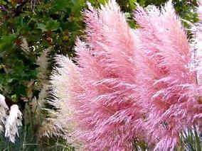 200 Sementes Capim De Pampas Grass Pink Cortaderia P/mudas
