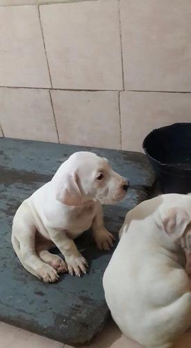 Dogo Argentino Bebes