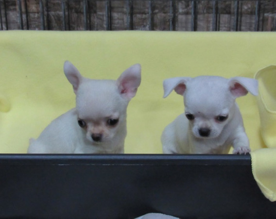 Chihuahua Machinho Micro Lindo Filhote De Chiuaua /pedigree