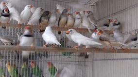 Finches Cebras Y Bengalies