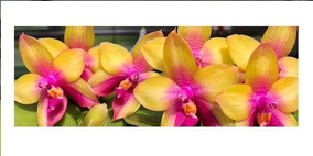 Orquidea Cattleya Híbrida