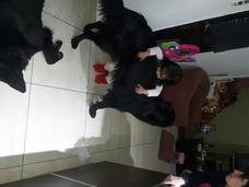 Vendo Cachorros Pastor Belga Puros