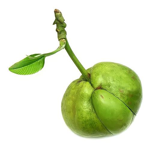 Imagem 1 de 7 de 1 Fruta Maçã Elefante Dilênia Saco Adão Dores Reumatismo