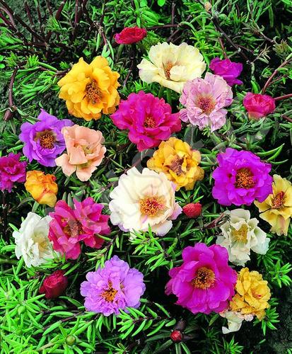 Imagem 1 de 6 de 200 Sementes De Onze Horas Dobrada Sortida Importada Flor