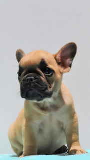 Bulldog Frances Red Fawn Perros Cachorro Cucuta Barranquilla