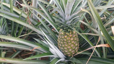 Pineapple Farms And Land For Planting In The Dominican Repub