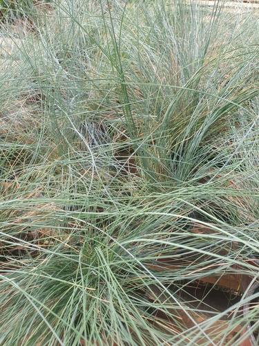 Carex Comans, Gramìnea, Para Paisajismo