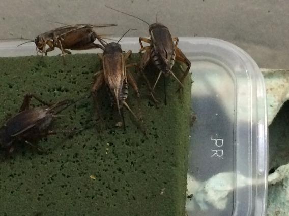 Grilos Negro Ovos Para Eclosão Alimento Vivo 1.000un