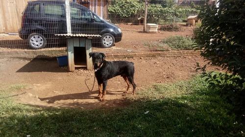 Vendo Rottweiler 2 Anos Puro Ótimo Cão De Guarda.