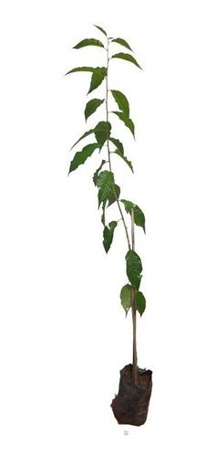 1 Muda De Cerejeira Japonesa Ornamental + Manual De Plantio