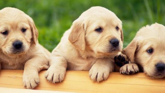 Labrador Cachorros/as Calidad Premium La Mejor Reputación