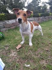 Servicio Jack Russell Terrier (pedigree)