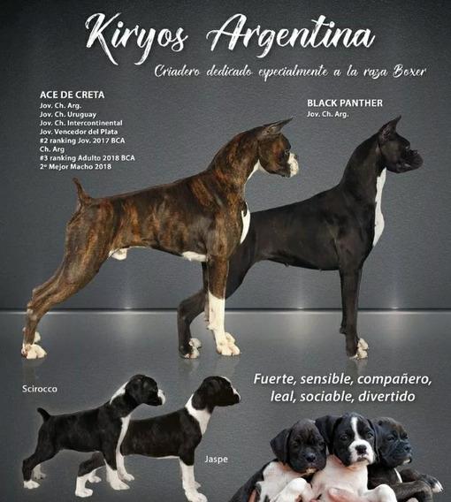 Cachorros Boxer Atigrados Y Bayos Sangre De Campeones!!!!!!!