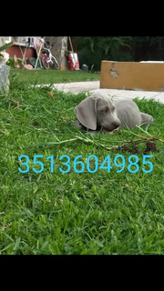 Cachorro Weimaraner Último Disponible Solo Para Mascota