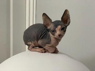Sphynx Gatitos Para Adopción