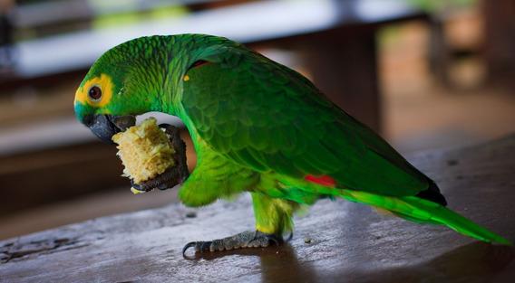 Apostila Aprenda Como Criar Papagaio Saiba Sobre Sua Criação
