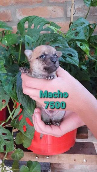 Chihuahua Mini Macho Pelo Largo, Tamaño Bolsillo