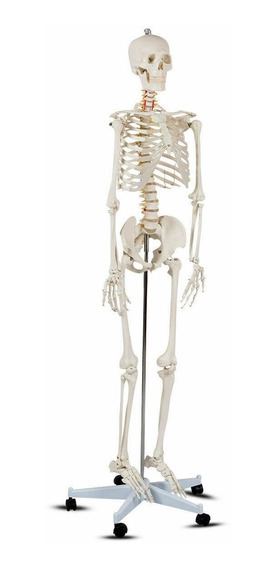Esqueleto Humano Modelo Anatómico Tamaño 1.8m Mod Ap2090