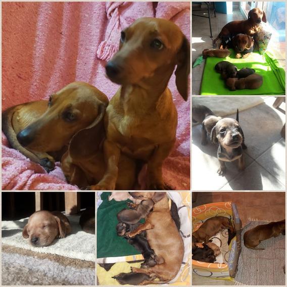 Cachorros Salchicha (dachshund)
