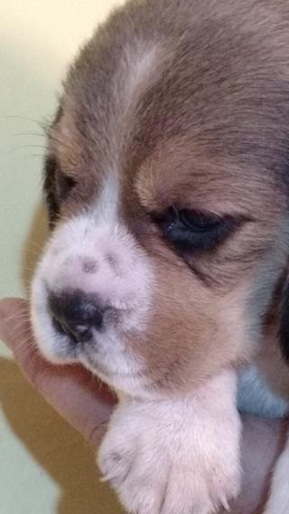 Cachorros Beagle 13 Envios Puerta A Puerta Hembra