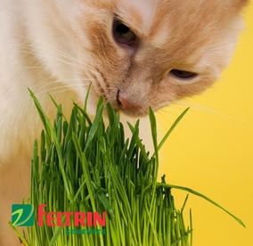 Sementes De Grama Dos Gatos - Feltrin + Frete Simples