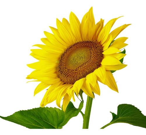 Imagen 1 de 2 de Semilla De Girasol Flor Gigante Amarilla Despacho Ya