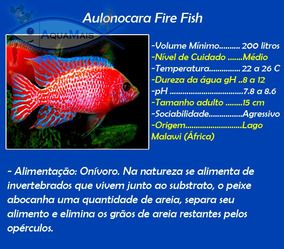 Aulonocara Firefish - 6-7cm - Aulonocara Spp.