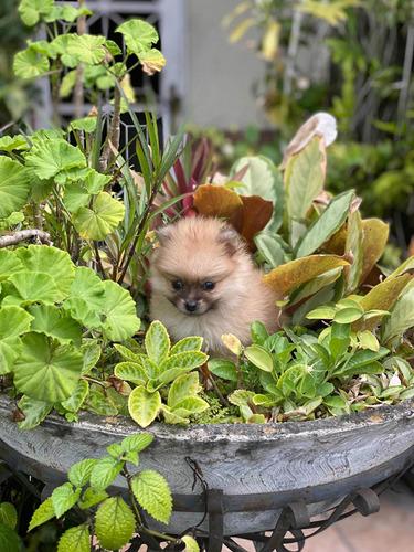 Imagen 1 de 8 de Cachorra Pomerania Lulu