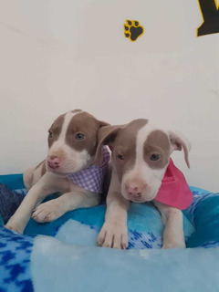 Cachorros Pittbu